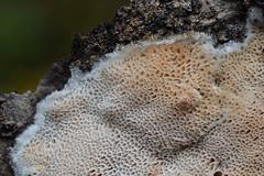Suur tardpoorik; Aporpium macroporum; isorustikka (urmas ojango) Tags: seened fungi auriculariales kõrvtarrikulaadsed aporpiaceae aporpium aporpiummacroporum isorustikka suurtardpoorik