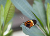 Golden Helicon (glenda.suebee) Tags: select butterflies heliconiushecale golden helicon wings colorful franklinparkconservatory columbus ohio glendaborchelt summer 2017 canon70d 105mm 180 f50 100iso