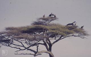 Vultures in Acacia near dead Gnu calf. A nest on left. Ndutu