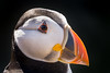 Puffin (Close-Up) (d:w) Tags: pembrokeshire july 2017 explore wales skomer nature close up