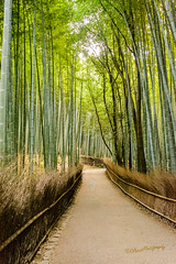 Bamboo Forest (CAscotPhotography) Tags: cascotphotography forest bamboo kyoto japan nature tree trees green enchanted nikon d7100