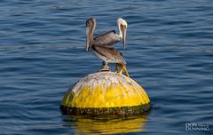 Brown Pelicans (Don Dunning) Tags: animals bird birds brownpelican california ocean pelican santacruz unitedstates water
