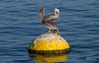 Brown Pelicans (Pelecanus occidentalis )