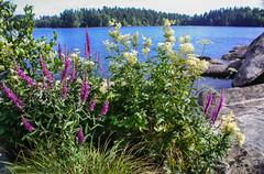 IMG_4141-1 (Andre56154) Tags: schweden sweden sverige wasser water see lake ufer blume flower