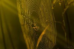 Morning web (mirosławkról) Tags: poland wildlife sunrise summer spider web orange 150600
