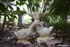 FX7_4096-JR (JerimiahRico) Tags: ducks ducklove love art outside quack brando statue jerimiahrico bokeh nikon dslr d750