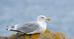 have a break .. (kalakeli) Tags: birds vögel möwen gulls larusargentatus silbermöwe europeanherringgull grömitz augsut 2017 ostsee balticsea meer wasser sea water