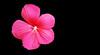 Hibiscus spec. (Jac Hardyy) Tags: hibiscus spec sp species flower flowers blüte blüten blütenblatt blütenblätter blossom blossoms bloom blooms blume blumen nice beautiful violett violet purple magenta macro monday schön petal petals staubblatt staubblätter stamen stamens eibisch