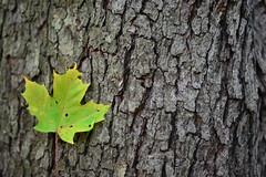DSC_6171 (Landi A) Tags: tree macro texture leaf fall green bark forest wild nature 50mm nikon vibrant minimalistic canada toronto oakville prime lense