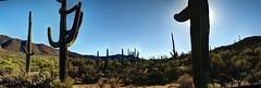 Onto the Saguaro National Park (JoelDeluxe) Tags: saguaro national park cactus scape landscape panorama desert tucson az idontcareaboutthedustspots hdr arizona joeldeluxe