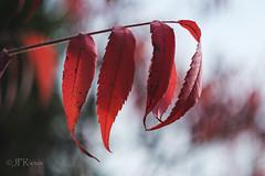 lumière d'automne-7426 (J-P Rioux) Tags: jprioux helios442 fujifilm xt2 parc escarpement