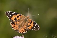 Painted Lady-4812 (WendyCoops224) Tags: 100400mml 80d canon eos localbirdswlldlife minibeasts ©wendycooper painted lady
