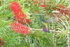 Anthracothorax nigricollis (dotcomdotbr) Tags: peruíbe sp juréia pousada bioventura beijaflor ave sony alpha a77 sal55300 natureza veste preta