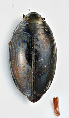 Gyrinus peruvianus Regimbart, 1907 (Biological Museum, Lund University: Entomology) Tags: coleoptera gyrinidae regimbart gyrinus peruvianus gyrininae mzlutype05689 taxonomy:binomial=gyrinusperuvianus