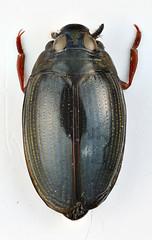 Gyrinus punctipennis Regimbart, 1907 (Biological Museum, Lund University: Entomology) Tags: coleoptera gyrinidae regimbart gyrinus punctipennis gyrininae taxonomy:binomial=gyrinuspunctipennis mzlutype05688