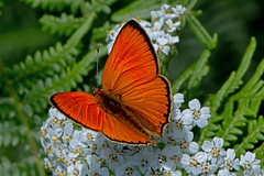 Lycaena virgaureae - the Scarce Copper (male) (BugsAlive) Tags: butterfly butterflies mariposa papillon farfalla schmetterling бабочка animal outdoor insects insect lepidoptera macro nature lycaenidae lycaenavirgaureae scarcecopper lycaeninae wildlife lozère montlozère parcnationaldescévennes liveinsects france