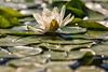 Water Lily (mclcbooks) Tags: flower flowers floral denverbotanicgardens colorado waterlily waterlilies lilypads summer