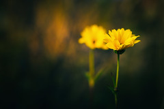 """What do you see when you close your eyes?"" (Smo_Q) Tags: wildflowers pentaxk3ii autumn dead"