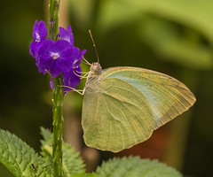 """Catopsilia pomona (Lemon Emigrant) • <a style=""""font-size:0.8em;"""" href=""""http://www.flickr.com/photos/33757080@N05/37659048942/"""" target=""""_blank"""">View on Flickr</a>"""
