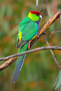 Red-Capped Parrot, male
