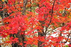 AUTUMN COLORS | MAPLE LEAVES  | ERABLE  |    REFORD GARDENS  | JARDINS DE METIS  | GASPESIE  |  QUEBEC  |  CANADA (C C Gosselin) Tags: autumn colours | maple leaves reford gardens jardins de metis gaspesie quebec canada colors color colour erable érable canadian flag drapeau canadien canon7dmarkii canon 7dmarkii 7d markii mark ii canoneosrebelt2i canoneos7d canon7d eos7d canoneos eos rebel t2i ph:camera=canon