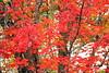 AUTUMN COLORS | MAPLE LEAVES  | ERABLE  |    REFORD GARDENS  | JARDINS DE METIS  | GASPESIE  |  QUEBEC  |  CANADA (C. C. Gosselin) Tags: autumn colours | maple leaves reford gardens jardins de metis gaspesie quebec canada colors color colour erable érable canadian flag drapeau canadien canon7dmarkii canon 7dmarkii 7d markii mark ii canoneosrebelt2i canoneos7d canon7d eos7d canoneos eos rebel t2i ph:camera=canon