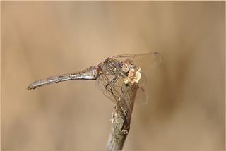 Sympetrum striolatum ♀
