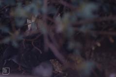 Wedge-tailed shearwater and day old chick. Kauai. Hawaii (Mary Gillham Archive Project) Tags: 63147 bird hawaii kauaiisland planttree puffinuspacificus