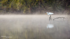 Foggy Morning (Phocal Art) Tags: 1 ardalb animalia ardea ardeaalba ardeidae aves avian bird chordata commonegret egret fog food greg greategret greatwhiteheron heron kayak largeegret pelecaniformes reflection stubblefield texas usa water alone ascend ascendh12 breakfast early foggy fullbody h12 hunt hunter mist misty morning one peace peaceful predator profile quiet river sanjacintoriver side sideview sideways single still stillness subdued wideopen zen