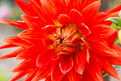 Color explosion II :: Dahlia (∞ Janine ∞) Tags: 2017 september deutschland germany mecklenburgvorpommern mecklenburgwesternpomerania rostock hansestadt hanseaticcity zoo rostockerzoo blume flower dahlie dahlienblüte dahlia