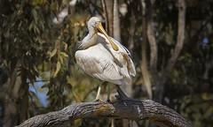 alice river - yellow-billed spoonbill #2 (Fat Burns ☮) Tags: yellowbilledspoonbill plataleaflavipes bird australianbird fauna australianfauna aliceriver barcaldine nikond500 sigma150600mmf563dgoshsmsports waterbird outdoors nature