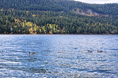 Donner Lake, California (alanmeyer.california) Tags: california northerncalifornia scenic landscape donner donnerlake water blue green lake shore autumn fall