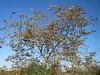 Juglans regia (anro0002) Tags: juglansregia walnuss