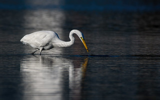 Great egret, Holly Pond