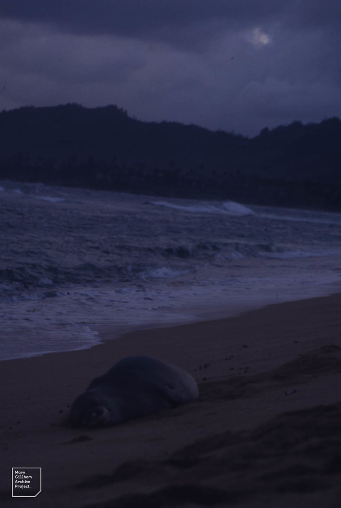 Monk seal. 3 populations, all rare. Mediterranean, Caribbean may be extinct