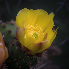 Flor de Cactus 2 (poderalca) Tags: macro flower cactus plantas paseos flora