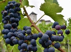 Wijngaard Balzers