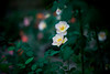 in rose garden (N.sino) Tags: m9 summilux50m rose 薔薇 神代植物公園