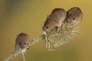 Harvest Mice, CaptiveLight, Ringwood, Hampshire, UK