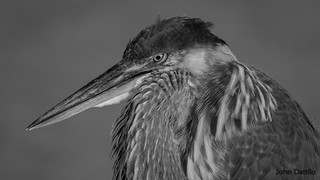 Blue heron in black & white