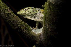 Monkey Lizard (antonsrkn) Tags: squamata squamate reptile herp herpetology nature wildlife wild animal peru arboreal nikon flash climbing detail natural branch tree scales green macro portrait herping tropics tropical jungle monkey lizard polychrus marmoratus