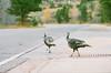 Wild Turkeys crossing the street (seansdi77) Tags: canonftb fujifilm turkeys wildturkeys film filmphotography filmsnotdead wildlife wildlifephotography
