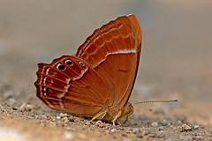 Abisara abnormis - the Abnormal Judy (female) (BugsAlive) Tags: butterfly mariposa papillon farfalla schmetterling бабочка conbướm ผีเสื้อ animal outdoor insects insect lepidoptera macro nature riodininae abisaraabnormis abnormaljudy nemeobiinae wildlife chiangdaons chiangmai liveinsects thailand thailandbutterflies ผีเสื้อปีกกึ่งหุบลายแปลก เชียงดาว เชียงใหม่