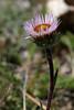 Erigeron alpinus (Alpine Fleabane) (Hugh Knott) Tags: erigeronalpinus alpinefleabane flora zermatt valais asteraceae helvetica switzerland suisse schweiz alpine