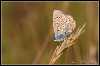 Icarusblauwtje - Common Blue