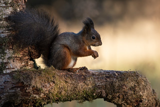 Eurasian Red Squirrel Sciurus vulgaris