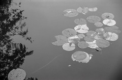 Water lilies  [Canon EOS 500n • FP4+ • Stand development] (K.Pihl) Tags: sigmacompacthyperzoom28200mmf3556 autumn ilfordfp4125 waterlilies rodinal1100 langeland canoneos500nneweoskisseosrebelg water standdevelopment åkander film bw waterlily analog nymphaeaceae