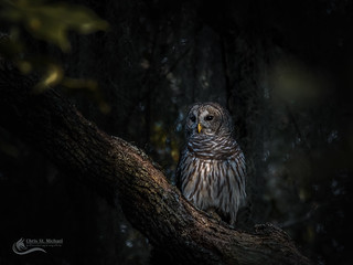 Barred Owl Surveying it's Territory