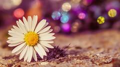 Daisy - 3964 (YᗩSᗰIᘉᗴ HᗴᘉS +9 500 000 thx❀) Tags: daisy macro flower flora bokeh bokehlicious beyondbokeh pâquerette color fleur trioplan meyer hensyasmine