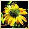 Afternoon sun. #takoma #dc #dclife #washingtondc #iPhone365 #iPhone7plus #iPhone #iPhonemacro #macro  #flower #flowersofinstagram (Kindle Girl) Tags: iphone takoma dc dclife washingtondc iphone365 iphone7plus iphonemacro macro flower flowersofinstagram